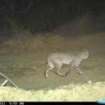 wild-life-bobcat-02