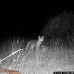 wild-life-fox-01
