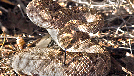 Rattlesnake Avoidance Tips